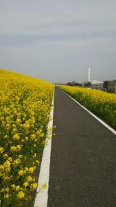 サイクリングロード流山付近の菜の花